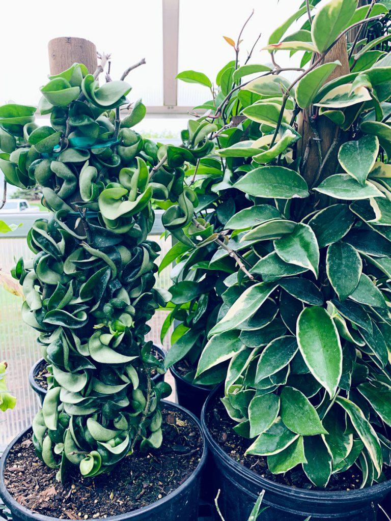 Ted Lare Garden Center Hindu Rope Hoya Plant Des Moines Iowa