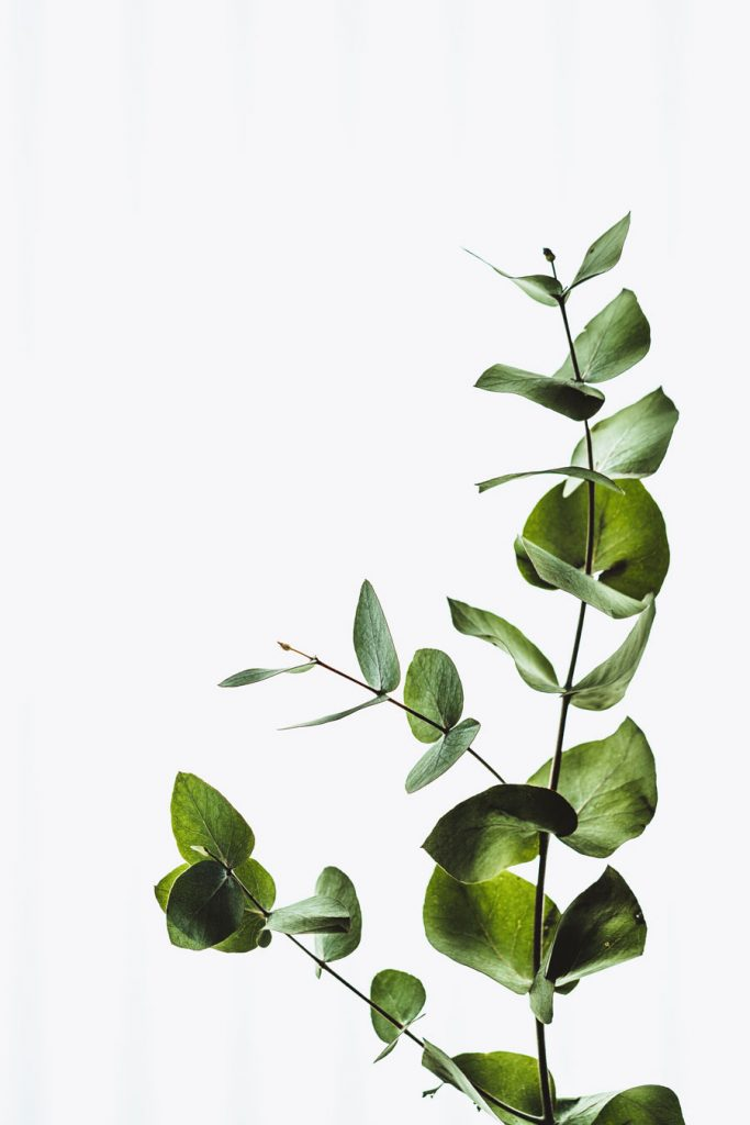 eucalyptus-plant