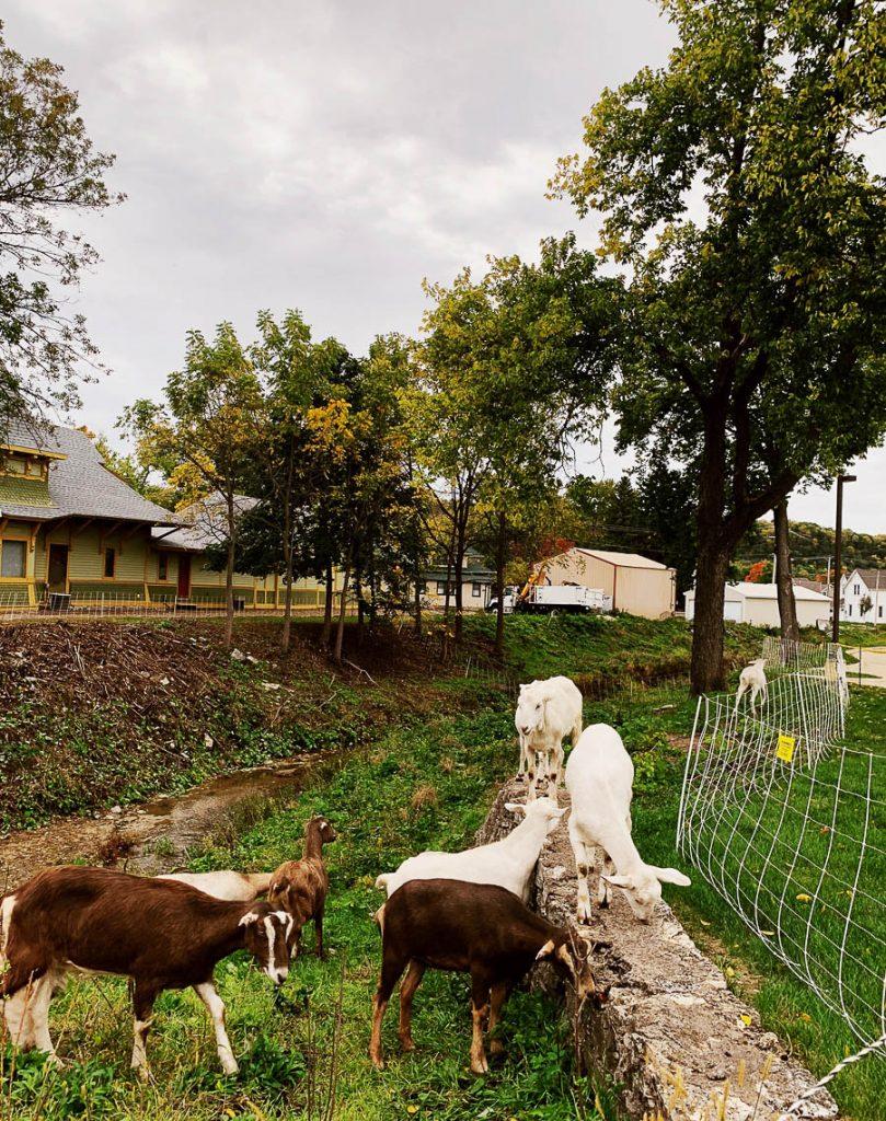 goats Decorah Iowa